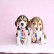 Filhotes de Beagle Bicolor e Tricolor