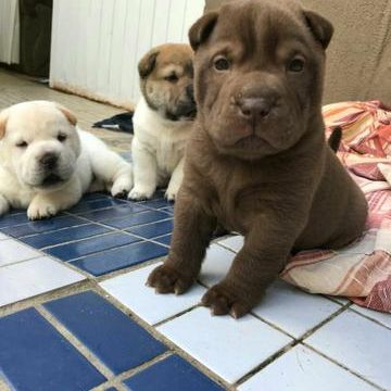 3 SHARPEI MINI  WATS OU LIGAR 41  998701527